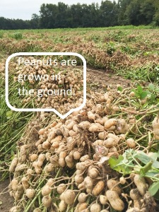 Peanuts in ground